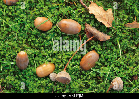 Autumn leaves and acorns in green moss - Stock Photo