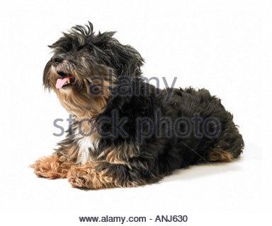 Shaggy Dog - Stock Photo
