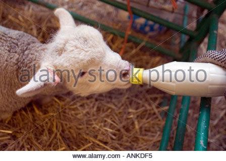 Poll Dorset orphaned lambs being bottle fed Longburton Farm Dorset UK - Stock Photo