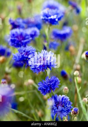Blue cornflowers - Stock Photo