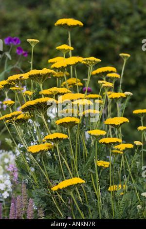 Achillea (Yarrow) - Stock Photo