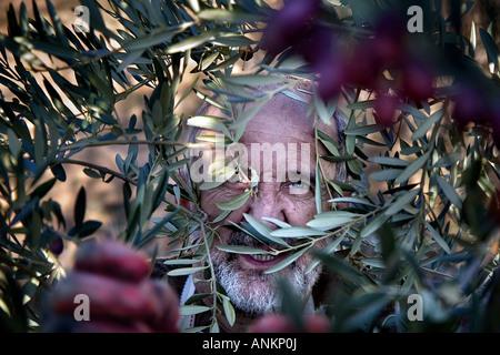 Farmer harvesting olives Mañeru Navarra Spain - Stock Photo