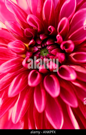 Close up shot of a bright pink Dahlia - Stock Photo