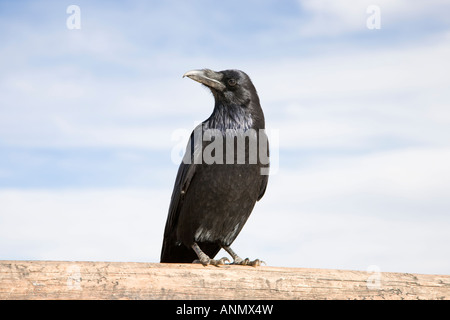 Black Raven standing on a timber, blue sky with clouds - Stock Photo