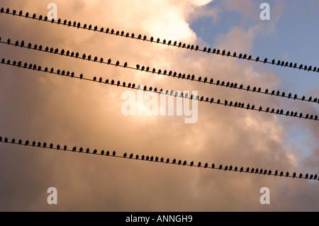 European Starling (Sturnus vulgaris) Large migratory flock roosting on power lines in late summer - Stock Photo