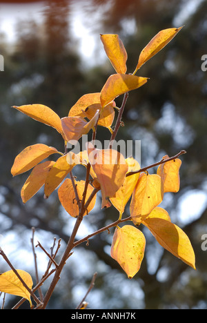 Israel Persimmon trees in a plantation Winter December 2007 - Stock Photo