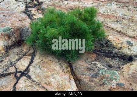 White pine (Pinus strobus) seedling in cracks of lichen coated granite Killarney Provincial Park, Ontario, Canada