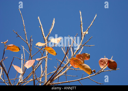 Israel Persimmon trees in a plantation close up of the leaves Winter December 2007 - Stock Photo