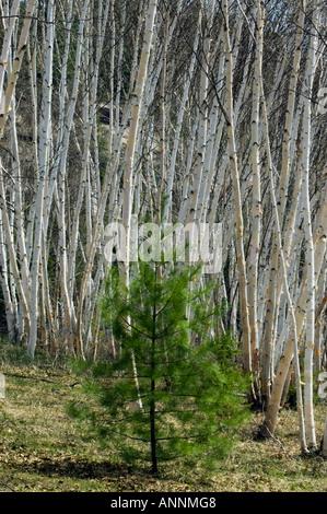 White pine (Pinus strobus) Sapling in birch grove Wanup, Greater Sudbury, Ontario, Canada