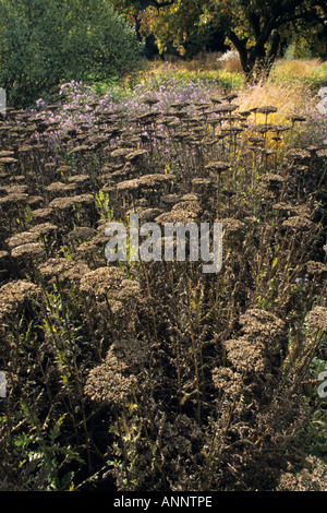 Fernleaf yarrow (Achillea filipendulina 'Gold Plate') - Stock Photo