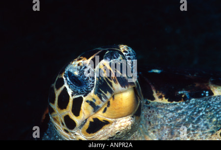 A curious Hawksbill sea turtle (Eretmochelys imbricata) comes up close and cosy. - Stock Photo