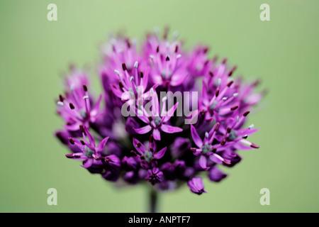 Single purple allium flower head - Stock Photo