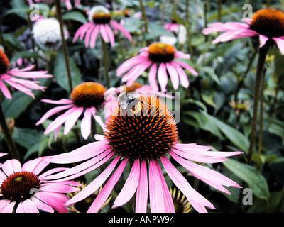 Group of Echinacea purpurea with bee - Stock Photo