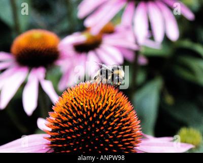 Echinacea purpurea with bumble bee - Stock Photo