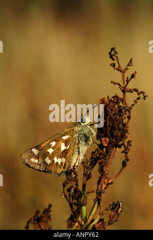 A Silver spotted Skipper known in America as the Common Branded Skipper is resting in the evening sun - Stock Photo