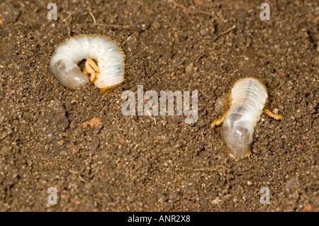 Cockchafer larvae