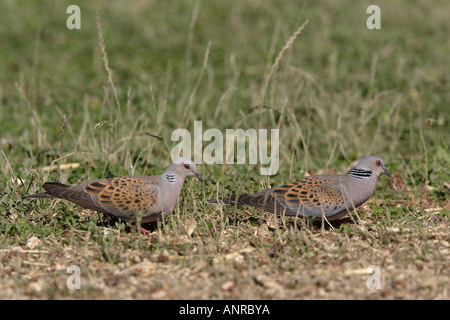 A pair of Turtle Doves feeding on the ground in Bulgaria - Stock Photo