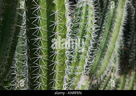 ABC Islands, BONAIRE, Rincon: Cactus Detail of the Cactus Fence arouond the Cactus Fence Country Club - Stock Photo