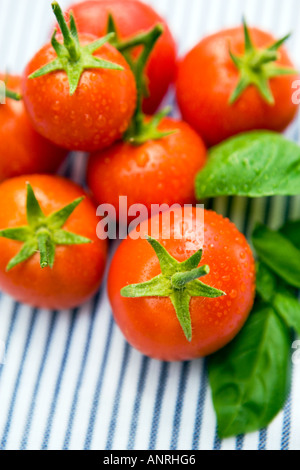 COMMON NAME: Tomatoes LATIN NAME: Lycopersicon Esculentum - Stock Photo