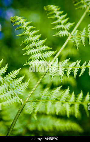 COMMON NAME: Fern - Buckler Latin LATIN NAME: Dryopteris dilatata - Stock Photo