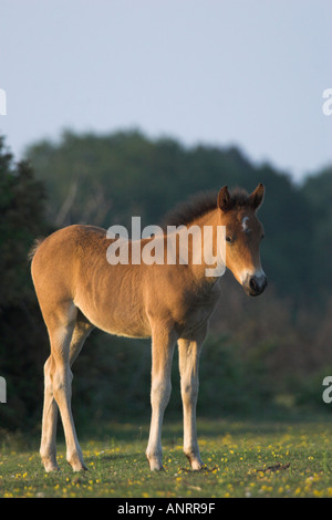NEW FOREST PONY FOAL standing in late evening sunshine New Forest Hampshire UK - Stock Photo