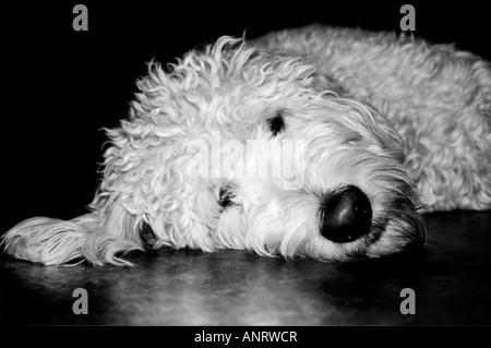 Goldendoodle dog. - Stock Photo