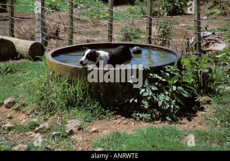 Sheep Farm New Zealand Waiheke Island Lucy cooling off in water trough - Stock Photo