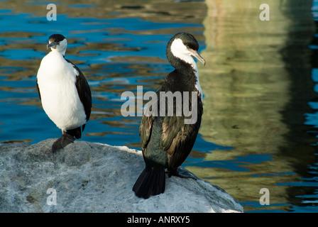 Black faced Cormorant Phalacrocorax fuscescens - Stock Photo