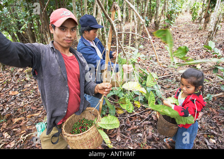 Man, Woman And Girl Picking Coffee Beans - Stock Photo