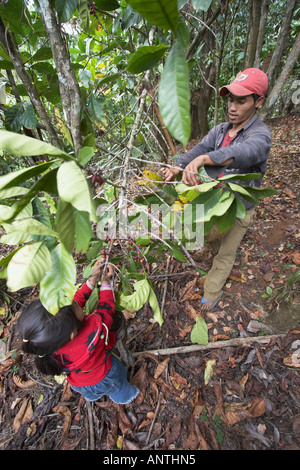 Man And Girl Picking Coffee Beans - Stock Photo