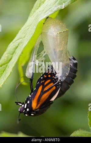 Monarch butterfly Danaus plexippus Adult emerging from chrysallis Ontario - Stock Photo