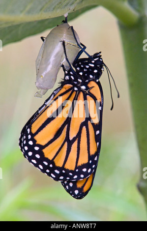 Monarch butterfly Danaus plexippus Adult freshly emerged from chrysallis Ontario - Stock Photo