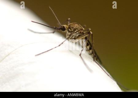 Mosquito resting on trillium flower Kagawong Manitoulin Island Ontario Stock Photo