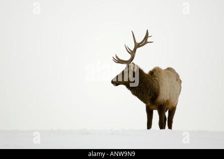 Elk Cervus elaphus Domesticated bulls stags feeding on hay in snowy pasture Mirror,  Alberta, Canada - Stock Photo