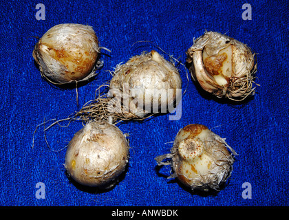 Allium nigrum bulbs - Stock Photo