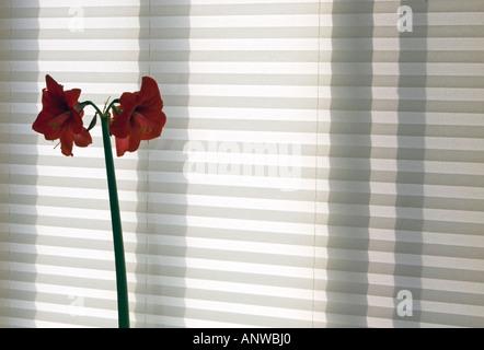 Amaryllis Hippeastrum Flower spike and window shade, Greater Sudbury, Ontario - Stock Photo