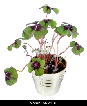 four leafed clover Oxalis tetraphylla four leafed clover - Stock Photo