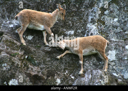 Young Turkmenian Markhor jousting on a almost sheer cliff face. (Capra falconeri heptneri) - Stock Photo