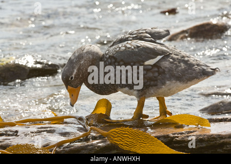 The endemic Falkland Steamer Duck Tachyeres brachydactyla adult male feeding at the shore Carcass Island West Falkland - Stock Photo