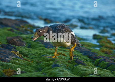 The endemic Falkland Steamer Duck Tachyeres brachydactyla adult female pugnacious behaviour territory defence Carcass - Stock Photo