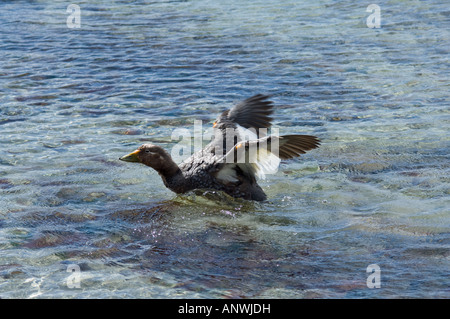 Steamer Duck Tachyeres patachonicus adult female stretching her wings Shedder Pond Carcass Falklands - Stock Photo