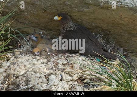 Striated Caracara (Phalcoboenus australis) parent on nest with three chicks, Carcass Island, West Falkland, South - Stock Photo