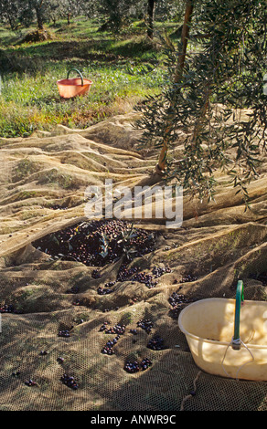 Olive hand harvest harvesting tradition in Tuscany Italy - Stock Photo