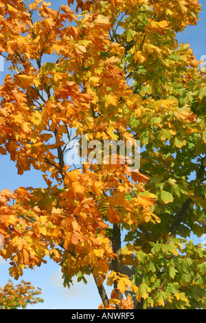 Autumn leaves from green to brown against blue sky - Stock Photo