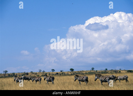 A group of zebras walking across the grass lands of Nechisar National Park, in Ethiopia, Africa. - Stock Photo