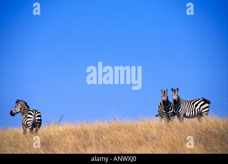 A group of Zebras in the grasslands of Nechisar National Park, in Ethiopia, Africa. - Stock Photo