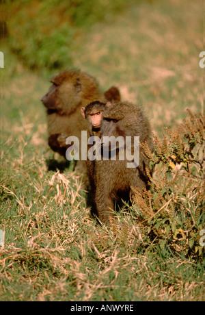 Africa, Kenya, Rift Valley, Lake Nakuru National Park. Mother and baby Olive baboon. Wild (Papio cynocephalus anubis) - Stock Photo