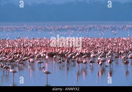 Tight group or flock of Lesser Flamingos (Phoeniconaias minor). Africa, Kenya, Lake Nakuru - Stock Photo
