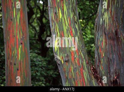 rainbow eucalyptus, Painted eucalyptus (Eucalyptus deglupta), The green and red bark is one of natures incredible - Stock Photo