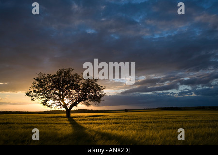 Tree in wheat field at sunset Burgundy France - Stock Photo